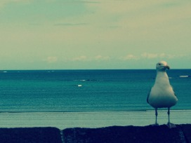 Seagull in St Malo
